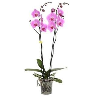 Фаленопсис Фиолетовый